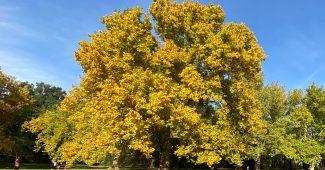 Baum mit goldgelben Blättern